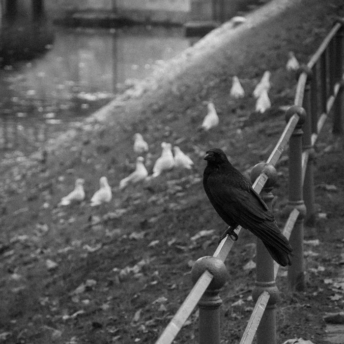 a black crow on the iron barrier by the stream and white gulls in the background