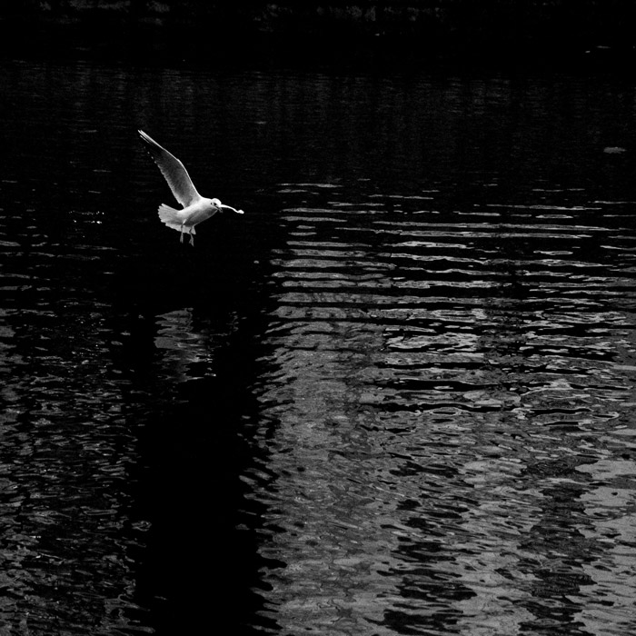 A flying white seagull with wings spread over stream water in düsseldorf königsallee