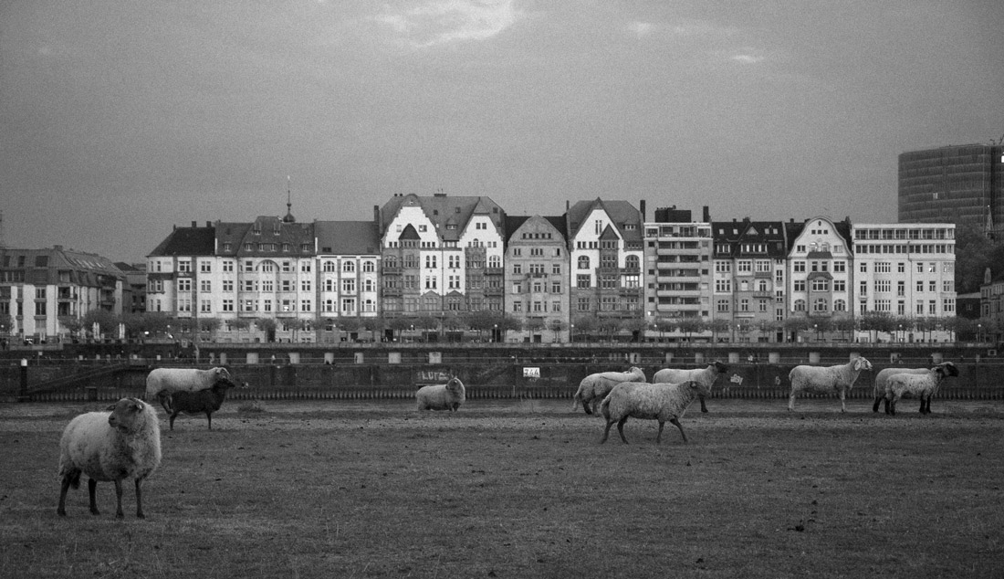 Historical buildings in Düsseldorf oldtown and sheeps walking around close to the Rhine river.
